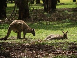 The Grampians National Park Animals